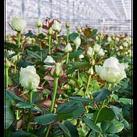 Роза чайно-гибридная сорт Аваланж ( саженцы )