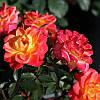 """Саженцы роз """"Мандарин"""""""