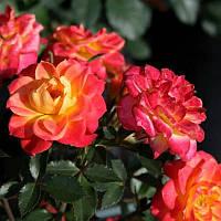 """Саженцы роз """"Мандарин"""", фото 1"""
