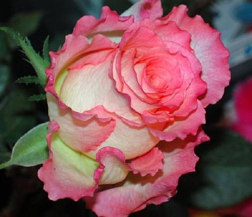 Купить саженцы розы в николаеве подарок жене что подарить rbtd