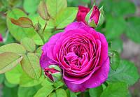 """Саженцы роз """"Хайди Клум"""", фото 1"""