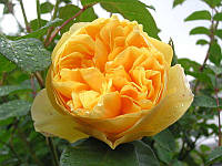 "Саженцы роз ""Грехем Томас"" (""Грэхем Томас""), фото 1"