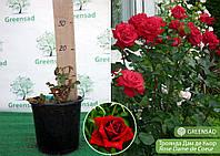 Роза чайно-гибридная Дам де Кьор (Dame de Coeur), саженец 15-20 см