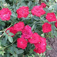 """Саженцы роз """"Ред Каскад"""" (""""Рэд Каскад""""), фото 1"""