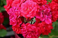 "Саженцы Роз ""Хеллоу"" ярко красно-малиновая (Хэлло), фото 1"