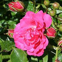 """Саженцы роз """"Роди"""", фото 1"""