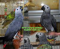 В продаже попугаи Жако