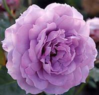 """Саженцы роз """"Новалис"""", фото 1"""