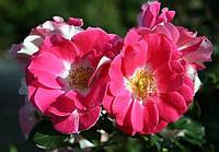 "Саженцы роз ""Регенсберг"", фото 1"