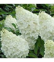 Hydrangea paniculata 'Polar Bear' Гортензія волотиста 'Полар Бер',C2-C3