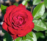 """Саженцы роз """"Торнадо"""", фото 1"""