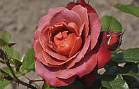 "Саженцы роз ""Хот Кокоа"" (""Хот Какао"", ""Горячий шоколад""), фото 1"