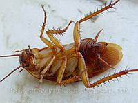 Уничтожение тараканов в Киеве и области