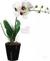Растение декоративное Орхидея Фаленопсис GF-A3066
