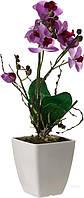 Растение декоративное Орхидея фаленопсис GF-A2328