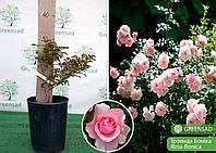Роза полиантовая Bonica (Боника), саженец 15-25 см