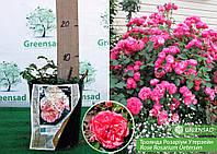 Роза парковая Розариум Уэтерзейн (Rosarium Uetersen), саженец 15-25 см