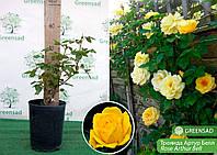 Роза флорибунда Артур Белл (Arthur Bell), саженец 30-50 см (контейнер 4 л)