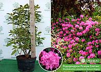 Рододендрон кетевбинский Розеум Элеганс (Roseum Elegans), 60-90 см