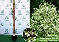 Дерен белый Элегантиссима (Elegantissima), 60-80 см