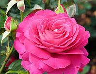 "Саженцы роз ""Барон Эдмонд де Ротшильд"", фото 1"