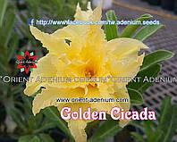 Адениум семена Golden Cicada