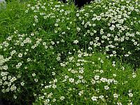 Мшанка шиловидная  (Sagina subulata)