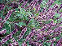Аморфа кустарниковая, (аморфа чагарникова) - семена.
