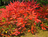 Сумах оленерогий, (уксусное дерево) - семена.