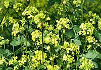 Редька масличная, (редька маслична) - семена.