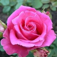 "Саженцы роз ""Топаз"", фото 1"