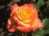 """Саженцы роз """"Утопия"""", фото 1"""