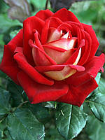 "Саженцы роз ""Люксор"""