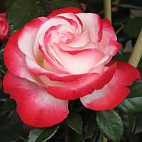 "Саженцы роз ""Ностальжи"", фото 1"