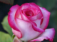 "Саженцы роз ""Белла Вита"" (""Бэлла Вита""), фото 1"