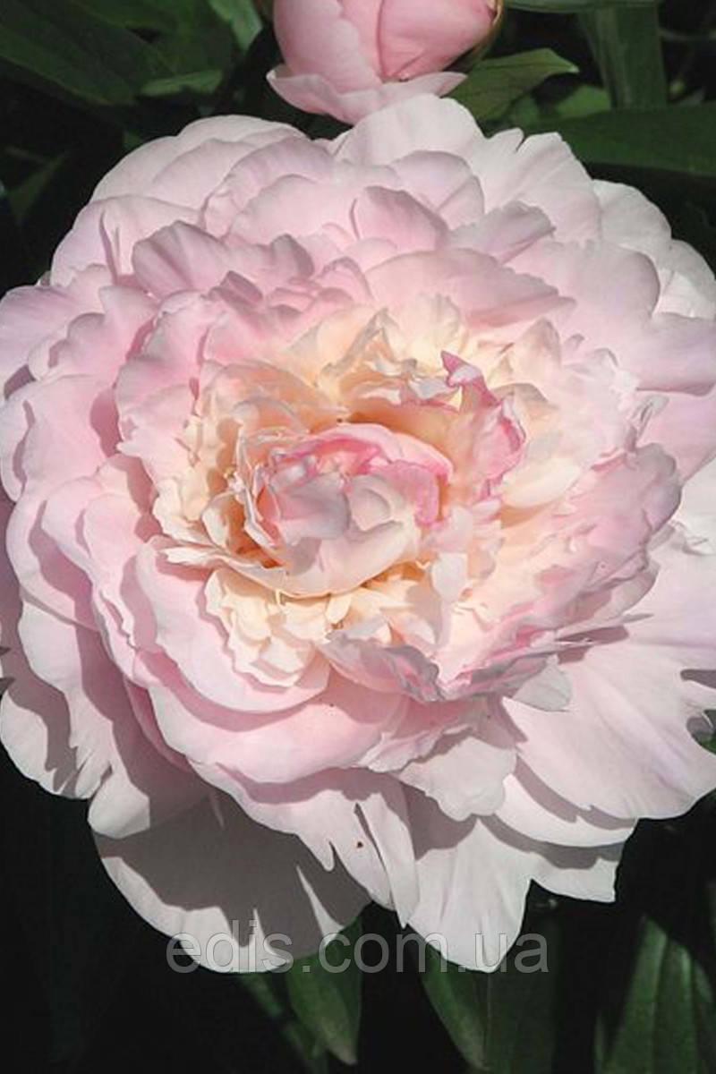 Півонія Madame Calot (Мадам Калот) кореневище