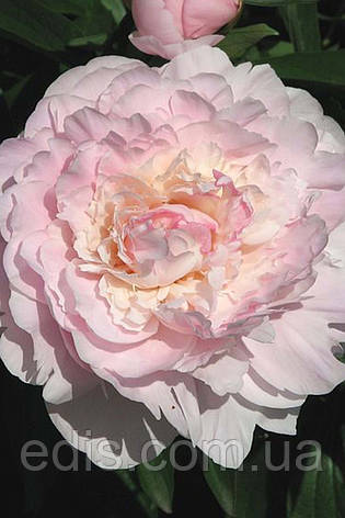 Пион Madame Calot (Мадам Калот) корневище, фото 2