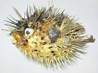 Чучело Рыба - Еж / Фугу