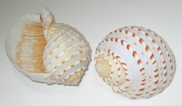 Ракушка Пузырь 11 см, белая