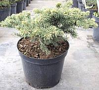 Ель колючая Вальдбрун (Picea pungens Waldbrunn)Ель колючая Вальдбрун (Picea pungens Waldbrunn) C5