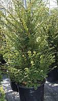 Тис средний Хикси (Taxus media Hicksii), С20