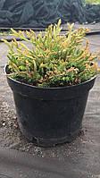 Туя западная (thuja occidentalis) - Golden Tuffet (Голден Таффет) 10 - 15 см, С-3