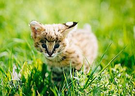 Девочка. Котёнок Сервала, питомник Royal Cats