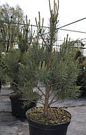 Сосна обыкновенная Ватерери (Pinus Sylvestris Watereri)