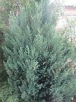 Саженцы можжевельник Стрикта (Juniperus Stricta)  в контейнере 2л