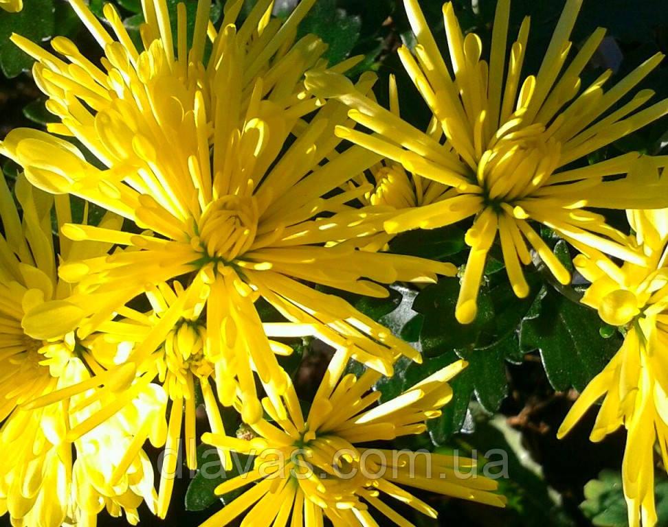 Хризантема шарообразная ИЗОЛЬДА ЖЕЛТАЯ