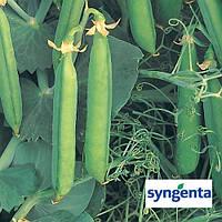 Семена гороха Бинго / Bingo от Сингента (Syngenta), 100 000 семян