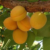 Саджанці абрикоса Олімп