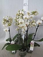 Орхидея Phalaenopsis Стюартина  Pico Chip