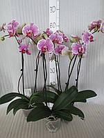 Орхидея Phalaenopsis Pandora 2  (Пандора 2) на 2 цветоноса